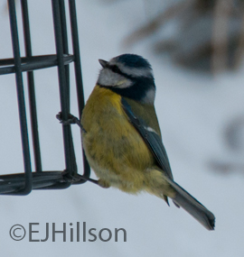 Blue tit in the garden