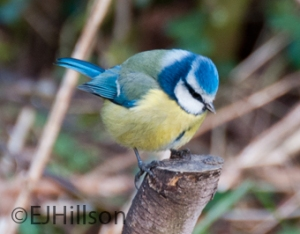bluetit - garden bird