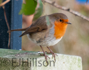 photograph of a robin
