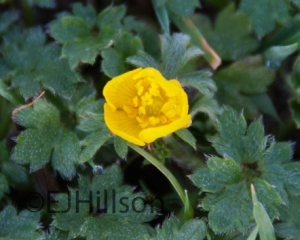 a winter buttercup