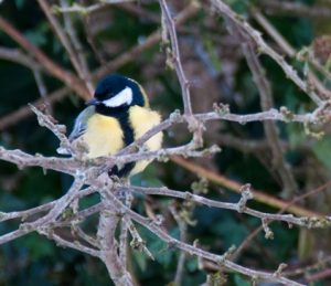 Coal tit in garden