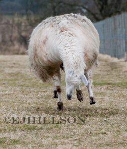 Llama running