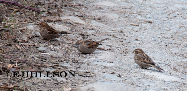 three little sparrows