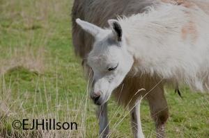 Llama picture