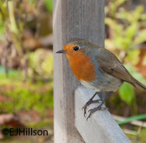 Cute little robin photograph