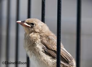 Baby Sparrow photo