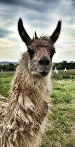llama in a field