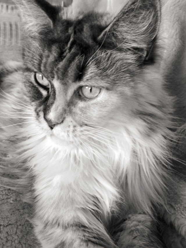 maine coon in black and white