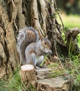 A grey squirrel at Llanerchaeron.