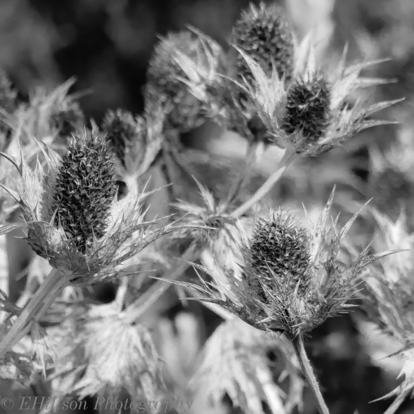 Thistle Seed Heads in Black and White