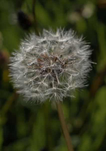 Raindrops on a dandelion seed head