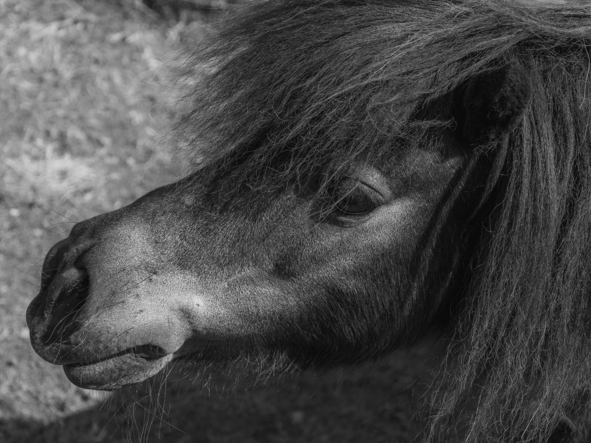 black and white image of a pony to show the image quality of the Nikon 7500