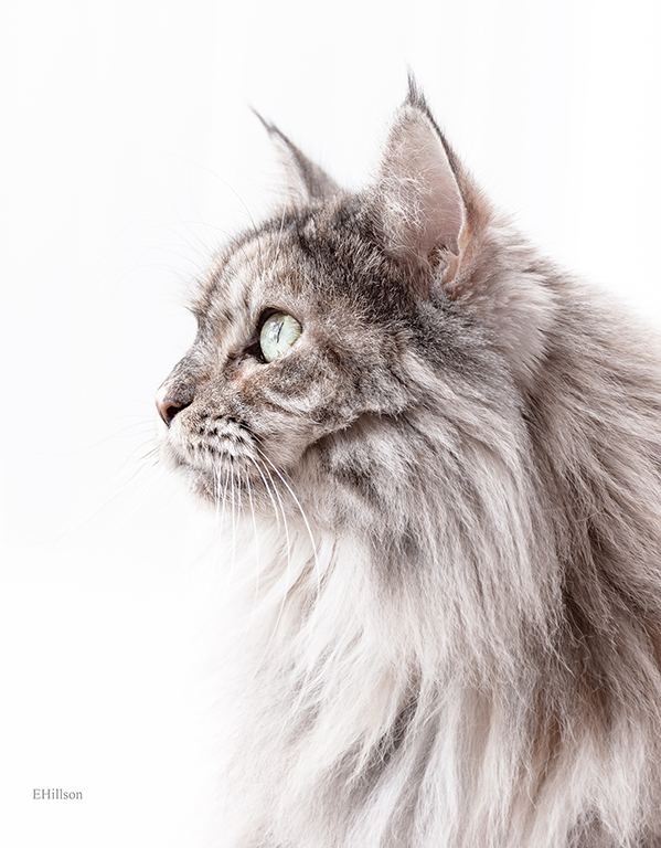 picture of a maine coon silver tortie tabby cat
