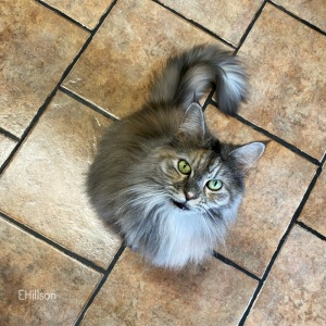 Picture of a maine coon cat